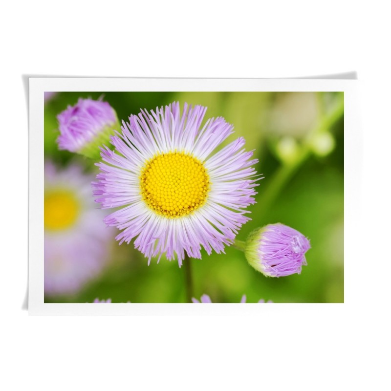 Purple Fleabane Daisy Flower - Canvas Art Print Wall Deco art